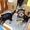 Дешево Щенки йоркширского терьера от чистокровных родителей #1411063