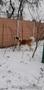 Питомник предлагает щенков сенбернара - Изображение #3, Объявление #1533316